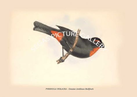 Fine art print of the PYRRHULA VIOLACEA - Greater Antillean Bullfinch by Philip Henry Goose (1849)